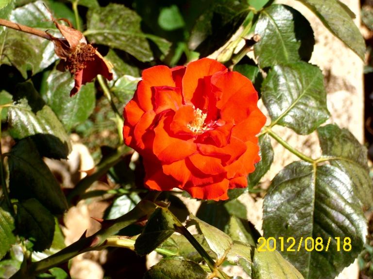 moja_ruža