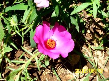 rozi_cvijet
