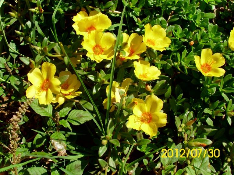 žuto cvijeće