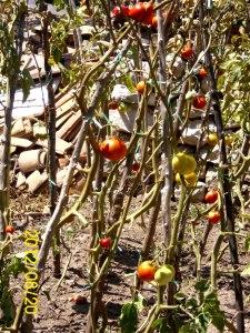 pomidore