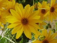 smanjena-žutocvijece