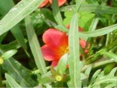 crveni_cvijet