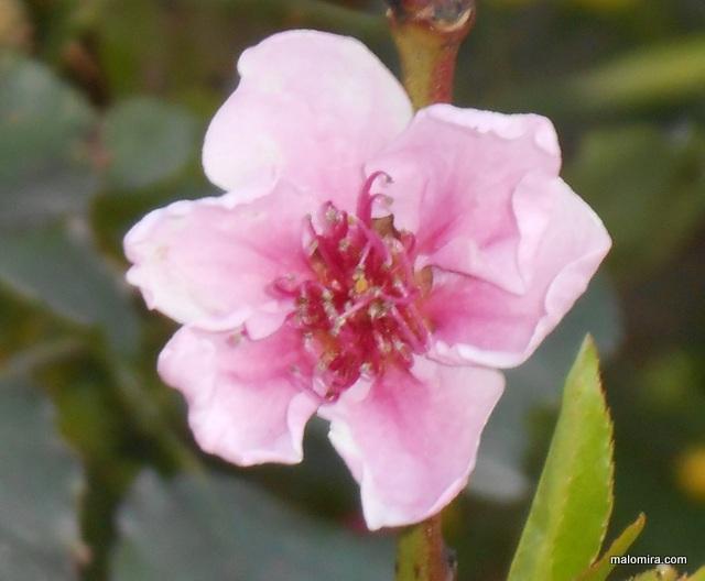 Cvijet breskve