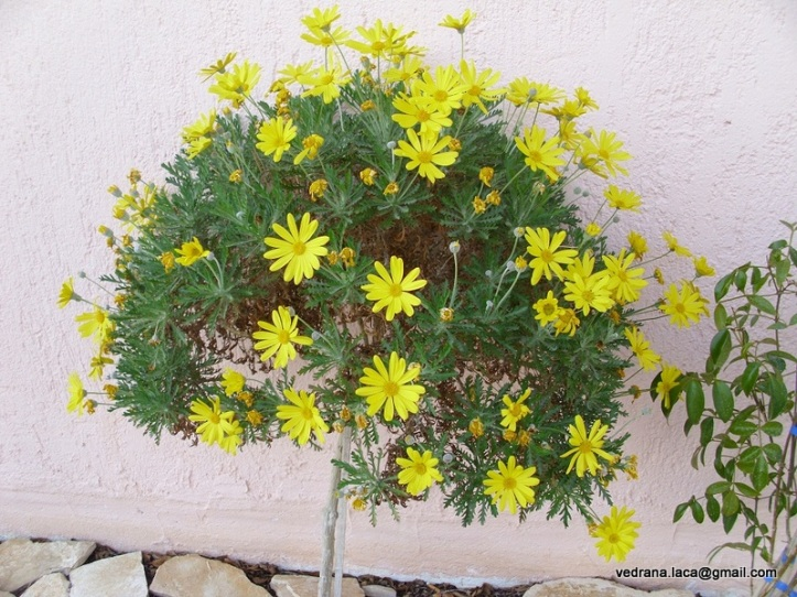 žuti_cvijet