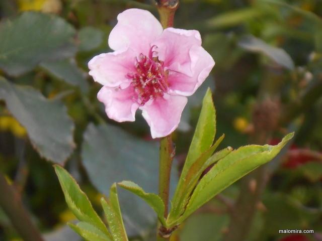 breskva cvijet